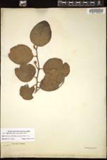 Image of Annona crassivenia