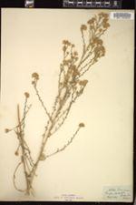 Image of Aster menziesii