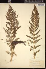 Athyrium alpestre image