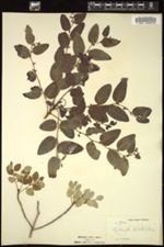 Image of Phyllanthus discolor