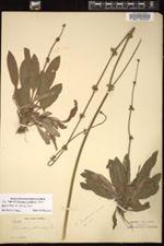 Image of Echinodorus grisebachii