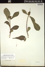 Image of Sapium leucogynum