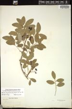 Image of Phyllanthus pseudocicca