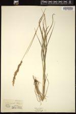 Image of Calamagrostis halleriana