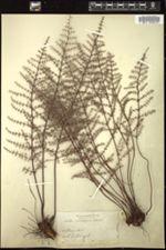 Image of Pellaea mucronata