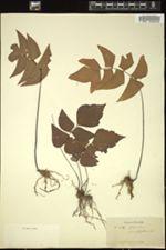 Image of Adiantum macrophyllum