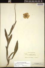 Image of Helenium scorzoneraefolium