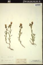Linum campanulatum image