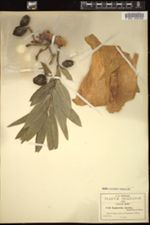Image of Euphorbia elastica