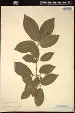 Image of Euonymus latifolius