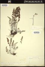 Image of Notholaena nivea