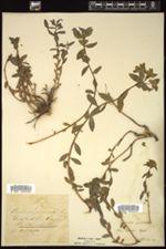 Image of Euphorbia verrucosa