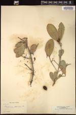 Image of Elaeodendron attenuatum