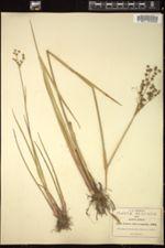 Juncus microcephalus image
