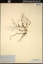 Image of Gonocarpus micranthus