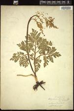 Image of Botrychium ternatum