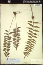 Image of Asplenium auriculatum