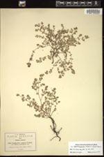Image of Euphorbia ramosa