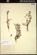 Image of Hypericum diffusum
