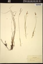Carex tomentosa image
