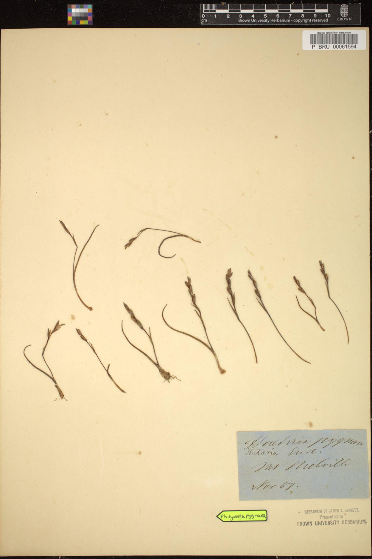 Philydrella pygmaea image