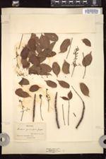 Image of Bursera gummifera