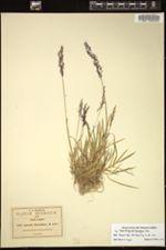 Image of Agrostis thyrsigera