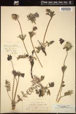 Image of Anemone pratensis