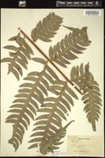 Image of Pteris gigantea