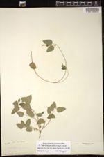 Image of Acalypha pendula
