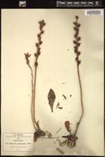 Image of Echeveria platyphylla