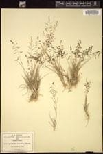 Image of Sporobolus atrovirens