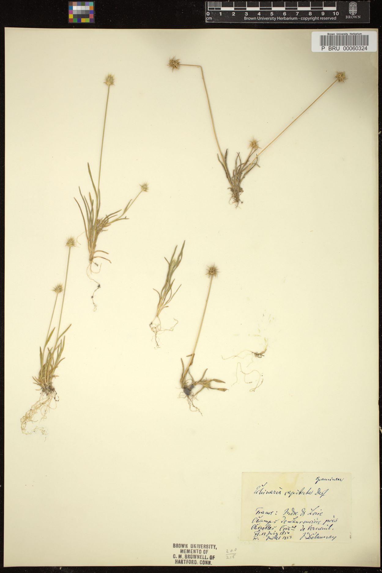 Echinaria image