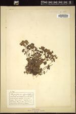 Chrysosplenium oppositifolium image