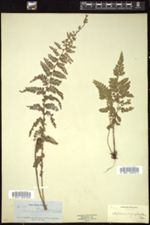 Image of Asplenium cicutarium