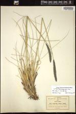 Muhlenbergia nigra image