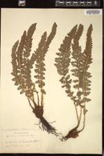 Image of Polystichum lemmonii