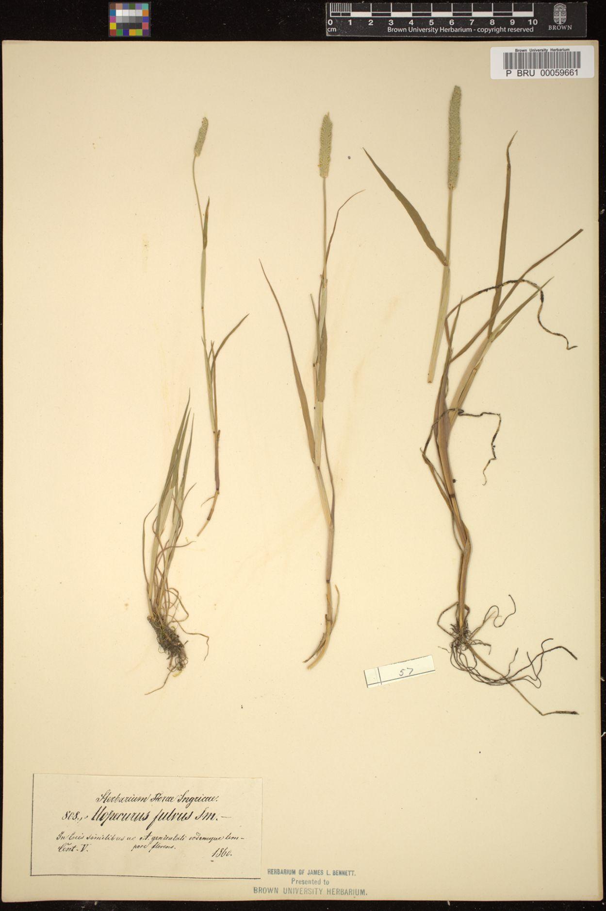 Alopecurus fulvus image