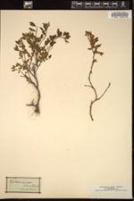 Image of Chamaecytisus supinus
