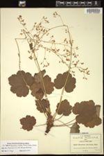 Image of Heuchera amoena