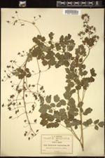 Image of Thalictrum longistylum