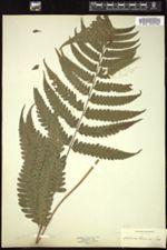 Image of Diplazium cristatum