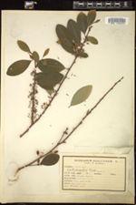 Erythroxylum coca image