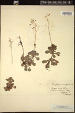 Saxifraga cuneifolia image