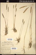 Koeleria glauca image