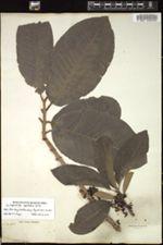 Image of Pera oppositifolia