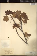 Image of Ribes atropurpureum
