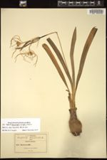 Hymenocallis concinna image