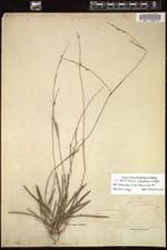 Image of Panicum amphistemon