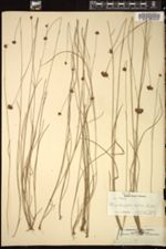 Image of Rhynchospora cubensis